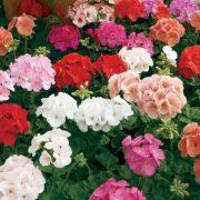 هرس گل شمعدانی با نکات ریز