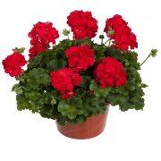 گل شمعدانی - نگهداری تکثیر و قلمه زدن با عکس های زیبا