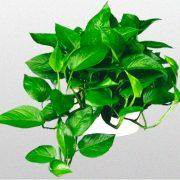 گل پتوس - مراقبت و کاشت ، تکثیر و قلمه زدن با جزئیات