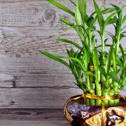 گل بامبو – تکثیر و نگهداری کامل گل لاکی بامبو خوش شانس با عکس