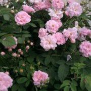 فروش ده نهال ریشه دار گل رز از گونه تالونه