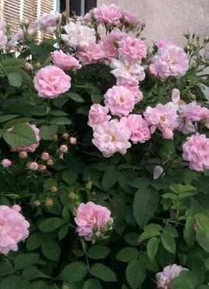 فروش نهال گل رز و قلمه گل رز