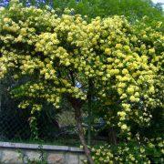 نقش گل و گیاهان بالا رونده در فضای سبز