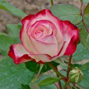 تصاویر تمام انواع گل رز ( all types of rose picture )