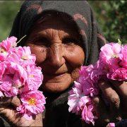 تصاویر باغ و برداشت گل محمدی