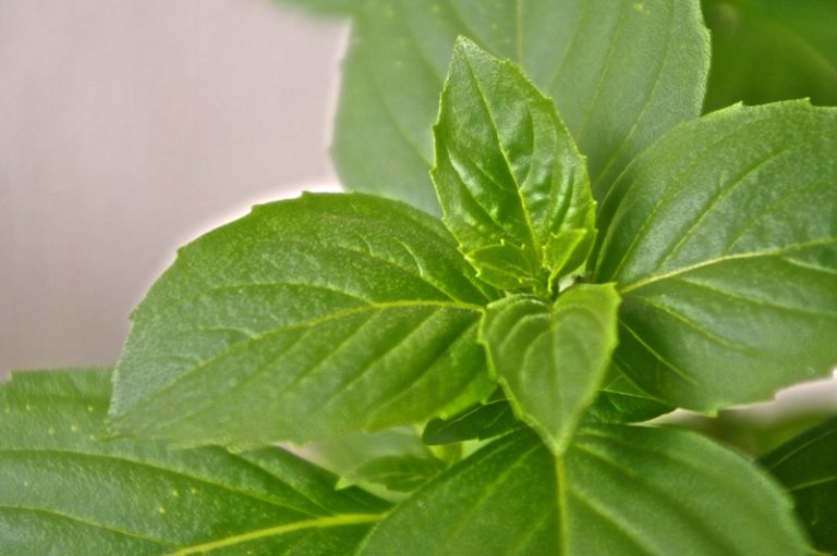 بذر ریحان سبز با کیفیت – عمده و خرده