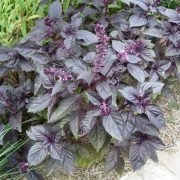 بذر سبزی ریحان بنفش با کیفیت - عمده و خرده