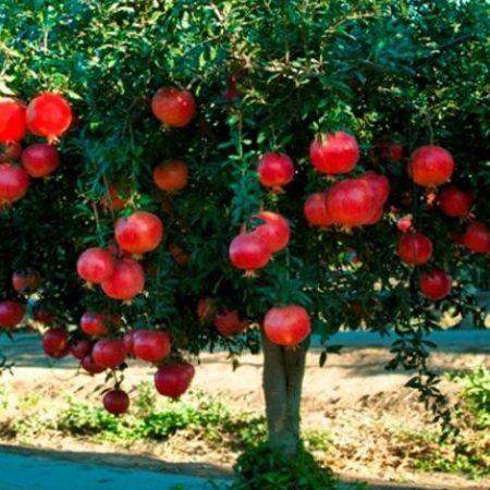 اصول باغ انار