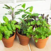 تصاویر کاشت سبزیجات در گلدان
