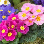 کاشت و نگهداری گل در زمستان ( اماده شدن برای بهار)