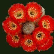 انواع گل کاکتوس ( گلهای کاکتوس )