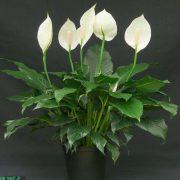 اسپاتی فلیوم ( تکثیر کاشت نگهداری و مراقبت گل اسپاتی فیلوم )