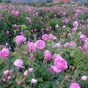 گل محمدی - کاشت،داشت و برداشت