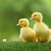 آموزش پرورش حرفه ای مرغابی و اردک با تمام نکات ریز