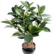 grow and care rubber plant - Ficus elastica