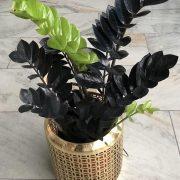 گلدان گل زاموفیلیا سوپر بلک - زاموفیلیا مشکی