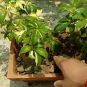 care and grow Schefflera plant Umbrella plant with beauty pictures