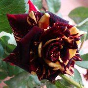 نهال ریشه دار گل رز هلندی در پنج رنگ متفاوت
