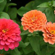 نگهداری و مراقبت ، تکثیر و کاشت بذر گل آهار