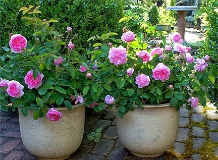 صد نهال ریشه لخت گل محمدی گلاب