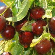 کاشت و پرورش درخت عناب مقاوم به کم آبی و خشکی