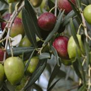 کاشت و پرورش درخت زیتون