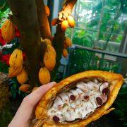 همه چیز در مورد درخت کاکائو ، پرورش و کاشت کاکائو