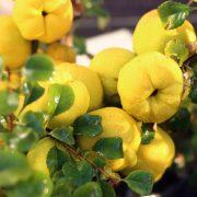 معرفی درخت بــه و روش کاشت حرفه ای آن