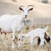 آنچه باید در مورد پرورش بز بدانید ( گوسفند داری )