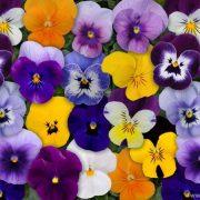آموزش کاشت، نگهداری و تکثیر گل بنفشه