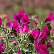 کاشت و پرورش گاوزبان با جزئیات ( گل گاوزبان )