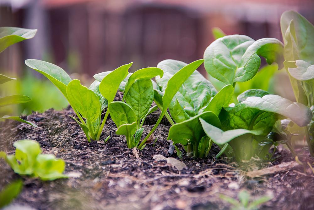 کاشت سبزی در باغچه و گلدان در تابستان