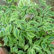 مراقبت و آبیاری ، تکثیر و قلمه زدن گل پدیلانتوس با نکات ریز