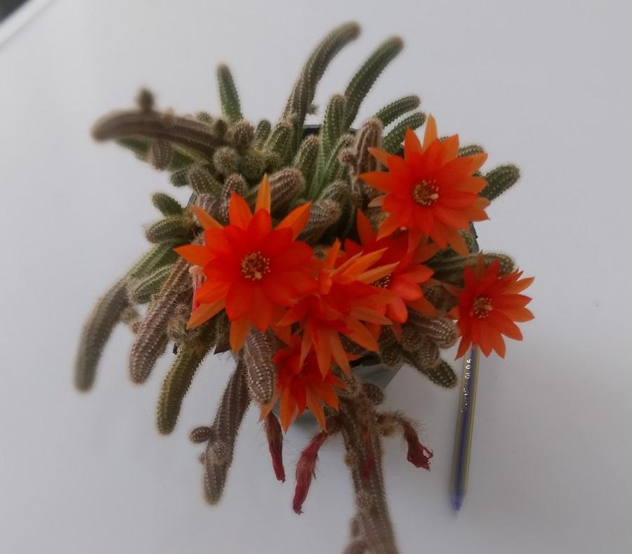 کاکتوس بند انگشتی گلدان  ۱۲