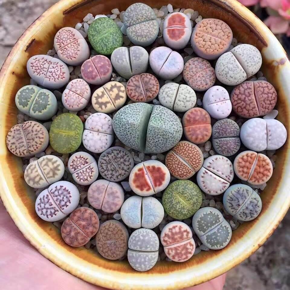 بذر لیتوپس یا کاکتوس سنگی میکس