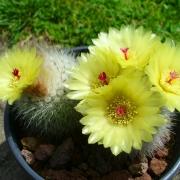 مراقبت از کاکتوس پارودیا یا توپی (Parodia or ball cactus)