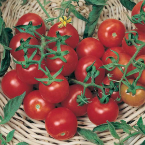 بذر گوجه فرنگی چری خوشه ای – ۵۰ دانه ترکی