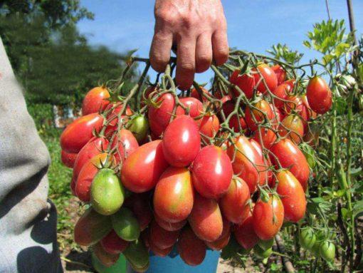 بذر گوجه فرنگی قرمز فیاسچتو ایتالیایی