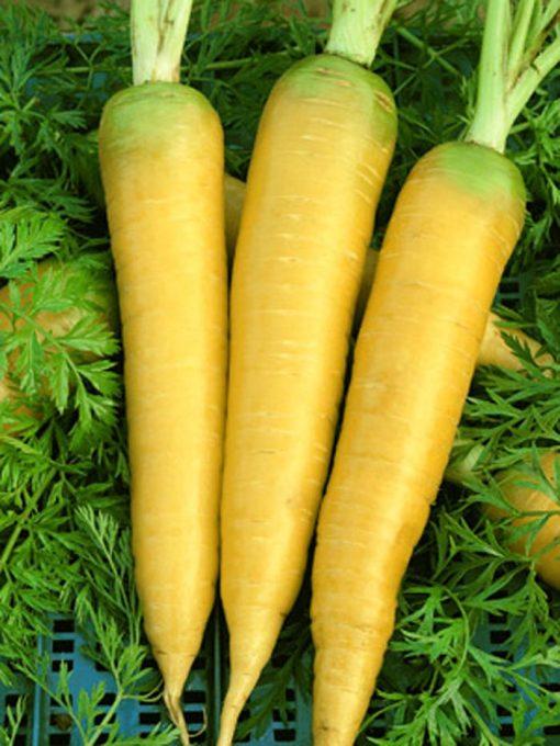 بذر هویج زرد با کیفیت– خرده و عمده