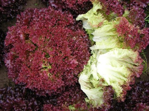 بذر کاهو فرانسوی قرمز ترکی – ۲۰۰ دانه با کیفیت