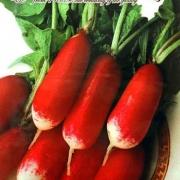 بذر تربچه دو رنگ کشیده ایتالیایی – ۵۰ دانه