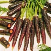 بذر هویج بنفش اژدها – با کیفیت