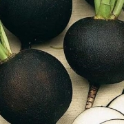 بذر ترب گرد و مشکی هلندی – ۱۰۰ دانه