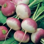 بذر شلغم ایتالیایی – ۱۰۰ دانه درجه یک