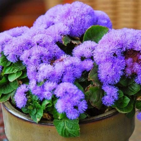 بذر گل ابری آبی