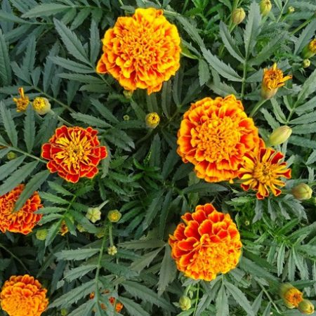 بذر گل جعفری مینیاتوری پر گل