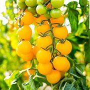 بذر گوجه چری زرد - خوشه ای گیلاسی