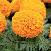 بذر گل جعفری نارنجی پاکوتاه و گل درشت