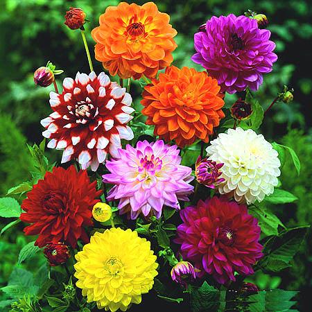 گل کوکب بذری