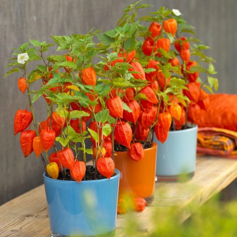 بذر با کیفیت فیسالیس قرمز